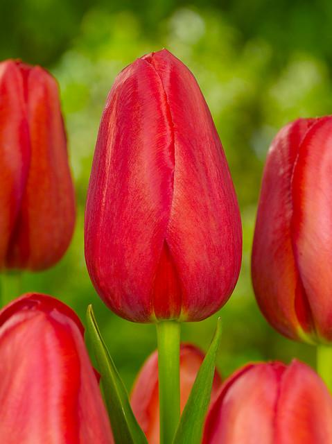 Tulip Sky High Scarlet  Quality Flower Bulbs  YouTulip