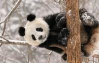 Pandanın Güldüren Halleri