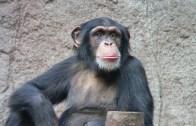 Bak Şu Şempanzenin Yaptığına
