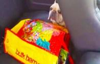 Sıcağın Altında Arabada Unutulan Köpeğe Yardım