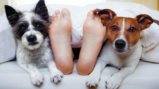 shibi ile uyumak için can atan köpekler