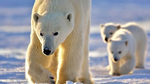 kutup ayısı ve deniz ayısı