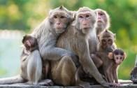 İnsan Gibi Çiftleşen Maymunlar