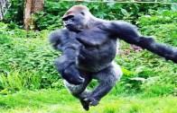 Siz Hiç Suda Dans Eden Goril Gördünüz Mü?