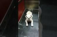 Sahibine Küsen Yavru Bulldog