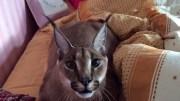 Bildiğiniz Kedileri Unutun: Evde Oturan Vahşi Kedi
