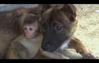 İnsan İnsana Yapmaz! Yaralı Köpekle Maymunun Dostluğu