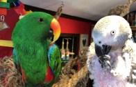 papagan-nico