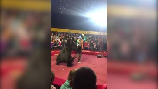 eğitmenine saldıran sirk ayısı