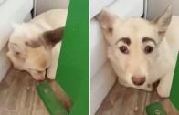 İnsan Gibi Kaşları olan Köpeği Görünce Çok Şaşıracaksınız