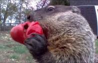 Tarladan Aşırdığı Domatesleri Afiyetle Yiyerek Sosyal Medyada Viral Olan Marmot