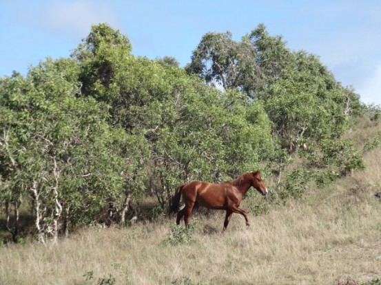 nouvelle-caledonie-chevaux-sauvage