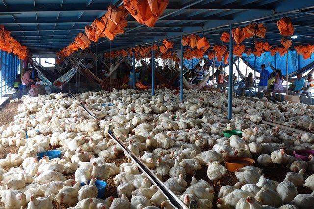 Voyage au Perou- Le bateau de la mort: En compagnie des 3 000 poulets!