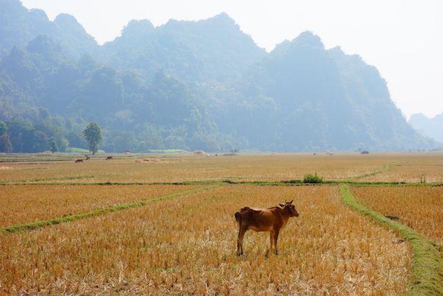 au Myanmar et birmanie il y a beaucoup de riziere mais aussi du ble photo blog voyage tour du monde http://yoytourdumonde.fr