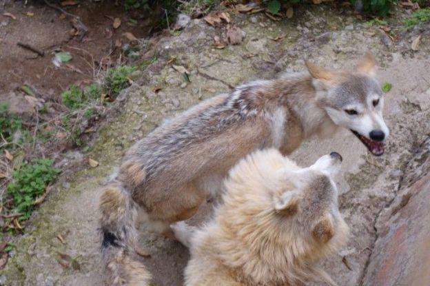 Des loups sont presents dans le zoo de darjeeling en inde. Photo blog voyage tour du monde http://yoytourdumonde.fr