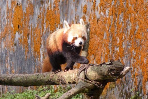 Le Pnada rouge est visible dans le zoo de darjeeling en inde. photo blog voyage tour du monde http://yoytourdumonde.fr