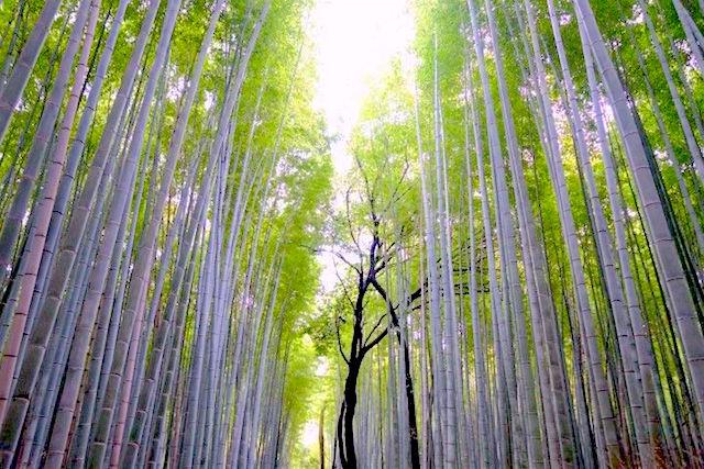 Les couleurs de la foret de bambou est vraiment un endroit époustouflant photo blog voyage tour du monde http://yoytourdumonde.fr