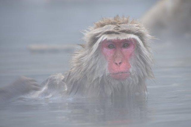 Les singes du Parc Jigokudani qui se baignent dans des eaux chaudes naturelles. Photo blog voyage tour du monde http://yoytourdumonde.fr