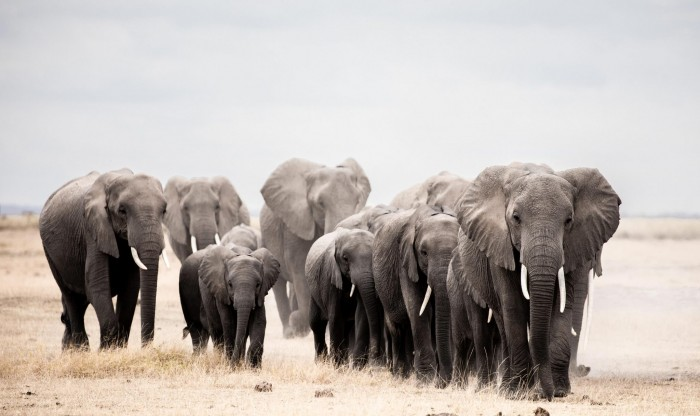 Research: If there is no ivory trade, African elephants can have a lot of habitat