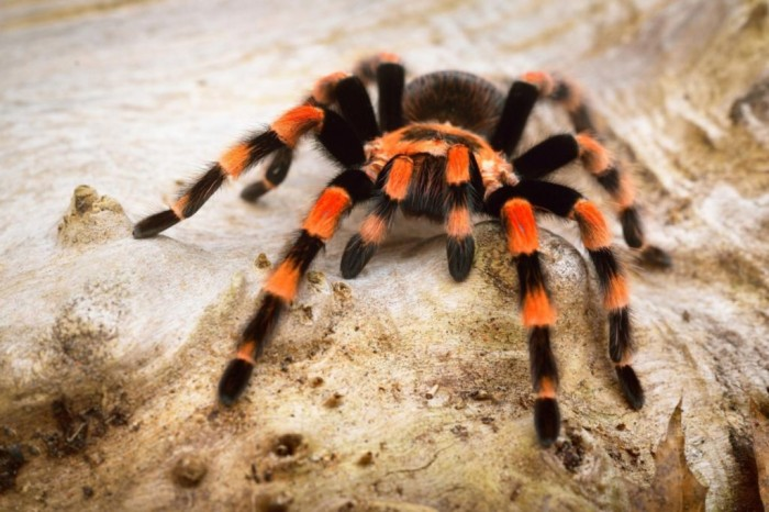 How do the tarantulas of Love Family spread across the six continents? Scientist finds the answer