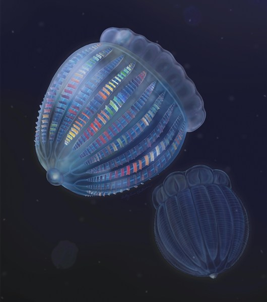 Rare Cambrian fossil reveals the complex structure of early comb jellyfish