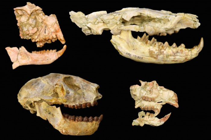 Fossils collected by Duke University have discovered the previously unknown African extinction