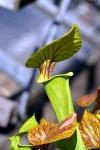 שופרית צהבהבה בגנים הבוטאניים בבון, גרמניה