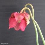 פרח שופרית אווה Mitchelliana x leucophylla var. alba