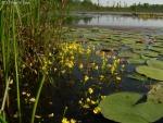 נאדיד עדין Utricularia gibba במים רדודים