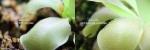 השוואה בין עלה בצמח פגוע לעלה בצמח בריא
