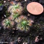 Drosera callistos Brooktown Orange Flower
