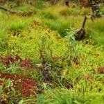 Sphagnum-Moss