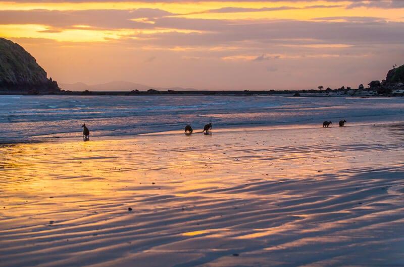 kangaroos on the beach Cape Hillsborough (8)