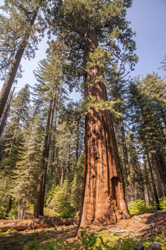 sequoias yosemite