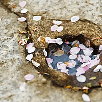 We-were-there-a-week-after-the-peak-blossom-so-a-lot-of-the-cherry-blossom-flowers-had-shed-their-petals-by-then