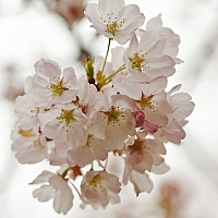 At-last-cherry-blossoms