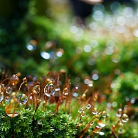 Water-droplets-on-moss-2097383718
