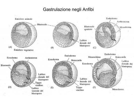 Gastrulazione negli Anfib