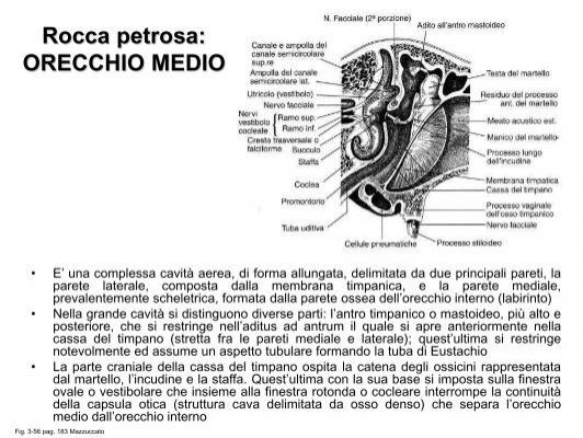 Rocca petrosa: ORECCHIO E