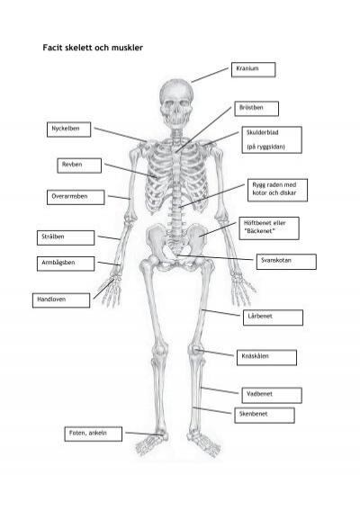 Facit skelett och muskler