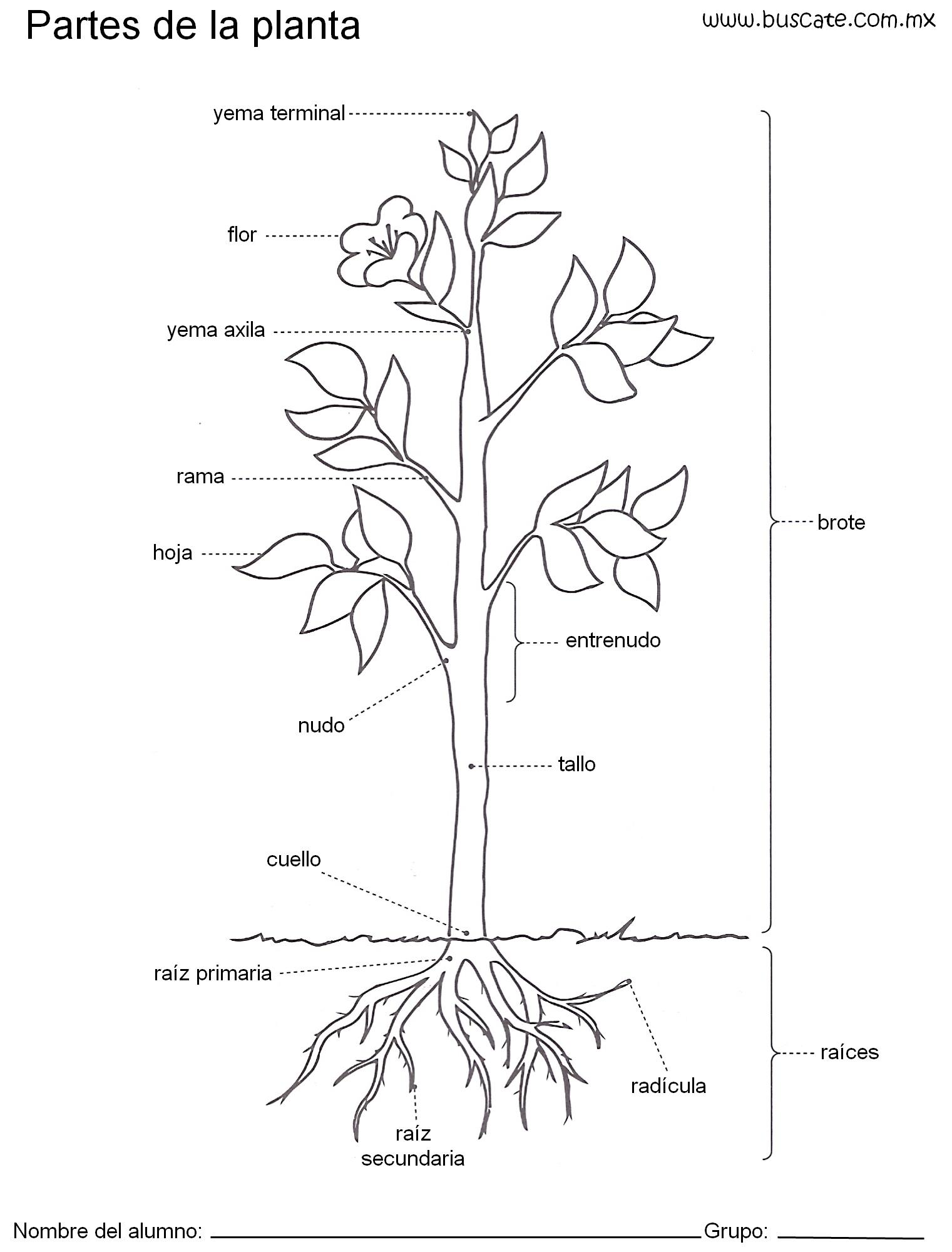 Esquema De Las Partes De La Planta