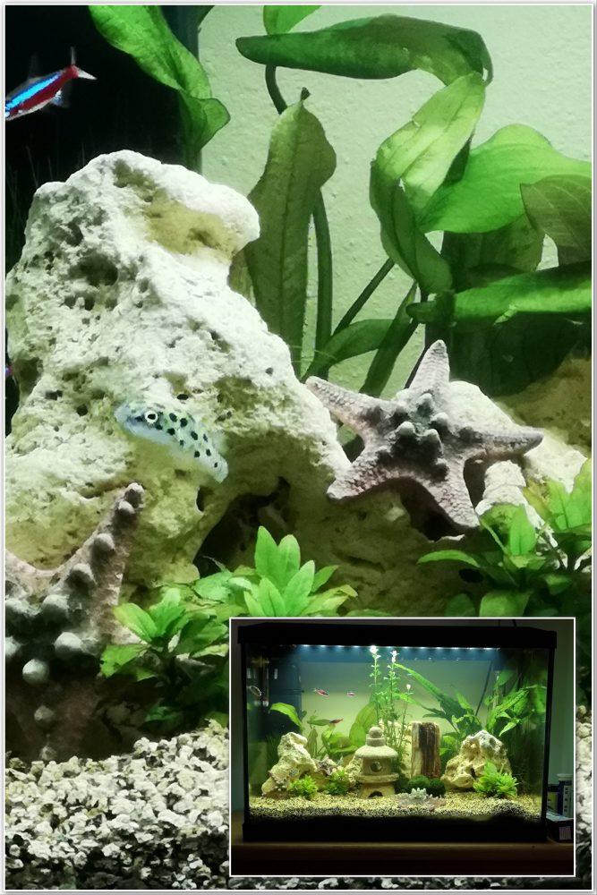 Aquarium, visjes, tropisch, zoetwater, vissen
