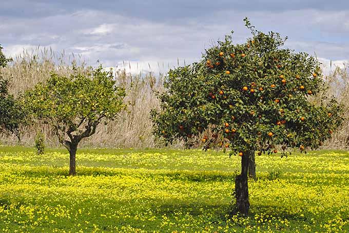 Tristeza il virus degli agrumi, Cia: Produzione destinata a scomparire