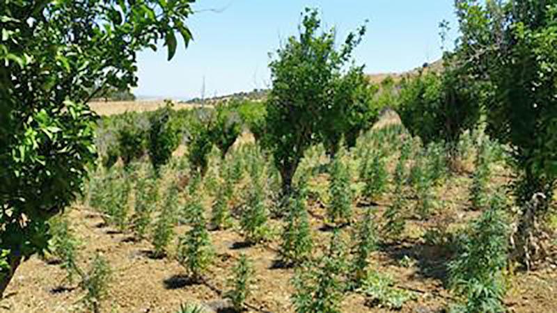 Centuripe: tre arresti per coltivazione droga. In manette paternese e ragalnese