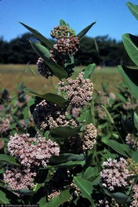 Monarch butterfly larvae feel only on the milkweed plant. (Image: R.A. Howard, hosted by the USDA-NRCS PLANTS Database)