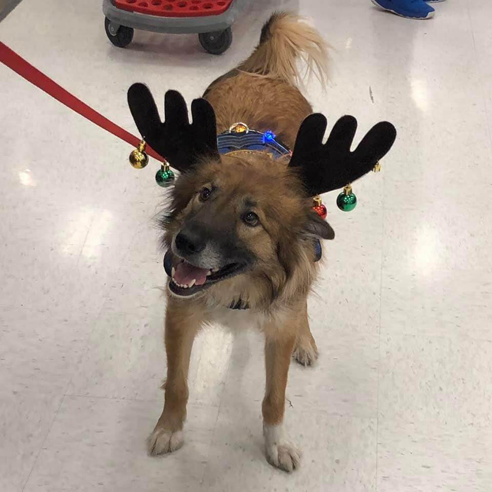 Brown fluffy dog wearing reindeer antlers adorned with jingle bells, smiling and looking towards the upper left.