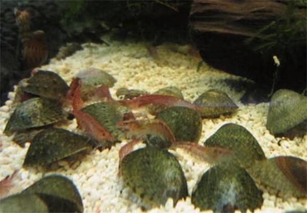 淡水芝麻笠螺危害 笠螺除藻怎么樣