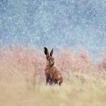 Wildlife Trust Hare Christmas Card