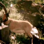 ZAC GRIFFITH FLORIDA MOUNTAINS IBEX