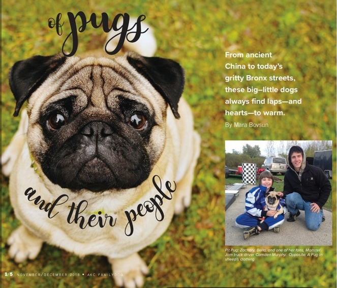 Zachary Tinkle interviewed for AKC Family Dog pug breed feature